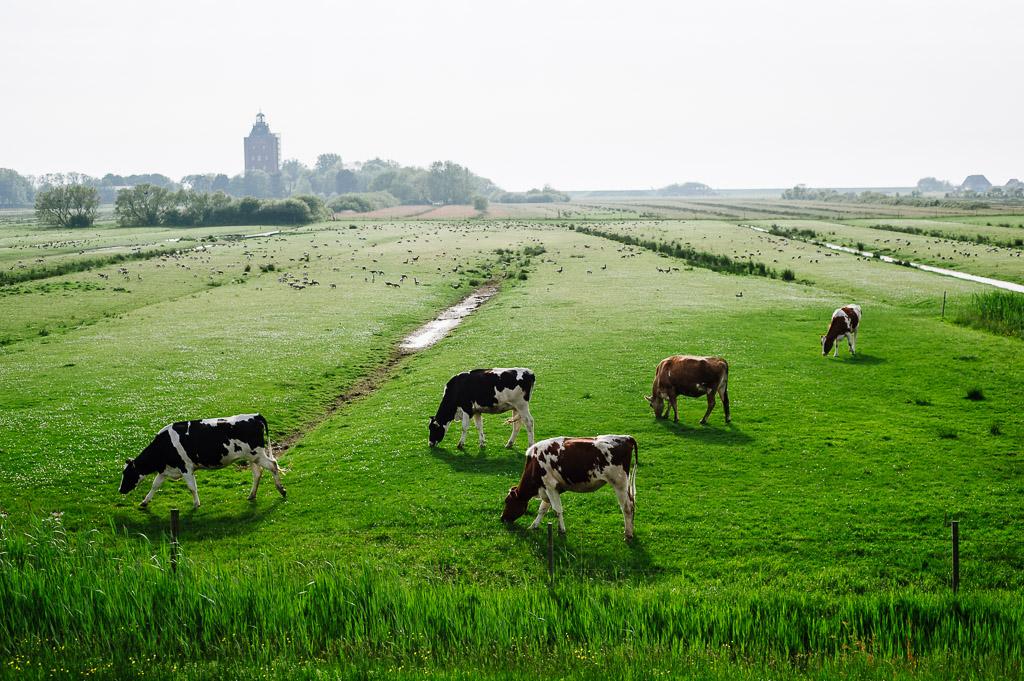 Kühe auf Neuwerk